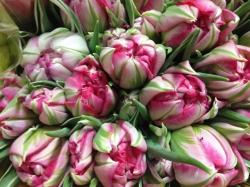 Тюльпан(пионовидный)